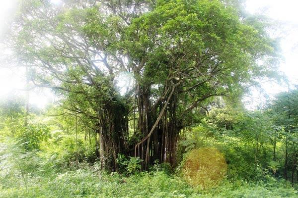 Rừng nguyên sinh đảo Cô Tô