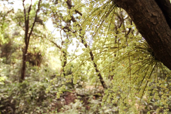 Rừng nguyên sinh đảo Cô Tô2