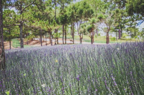 Cánh đồng Lavender siêu lãng mạn tại Thung lung tình yêu
