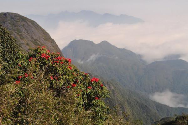 Giữa rừng núi bạt ngàn, những cây hoa đỗ quyên vươn mình khoe sắc