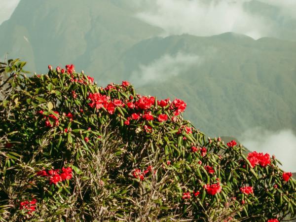 Hoa đỗ quyên mọc giữa núi rừng Tây Bắc1