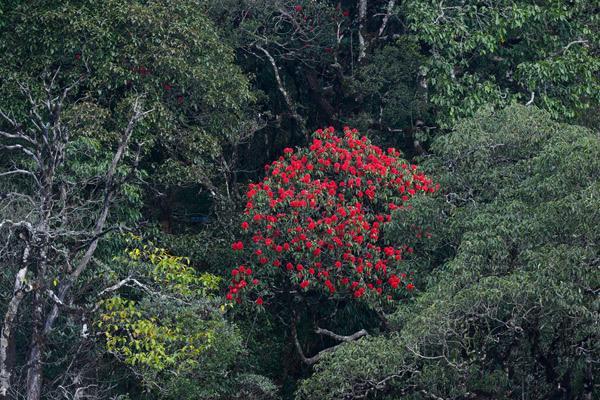 Mê mẩn trong sắc hoa đỗ quyên giữa núi rừng Tây Bắc