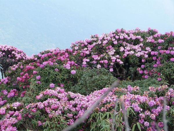 Rừng Hoàng Liên sở hữu hoa đỗ quyên với nhiều sắc màu đa dạng