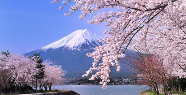 Hoa anh đào biểu tượng của Nhật Bản
