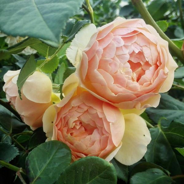 Hoa hồng Ngọc Thi (Garden rose Piano)