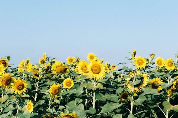 Cánh đồng hoa hướng dương1