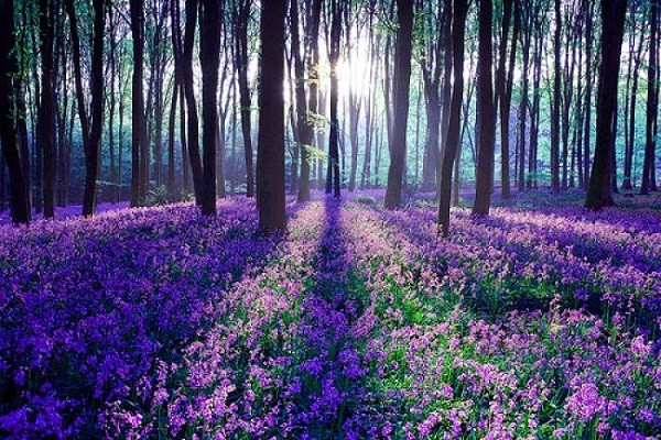 Cánh rừng hoa chuông xanh ở Dean, Anh.