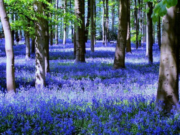 Cánh rừng hoa chuông xanh ở Dean, Anh.1
