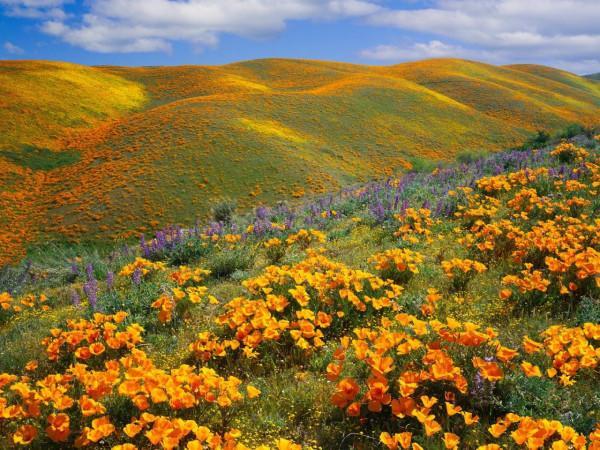 Hoa anh túc vàng ở thung lũng Antelopey, California.