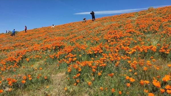 Hoa anh túc vàng ở thung lũng Antelopey, California.1