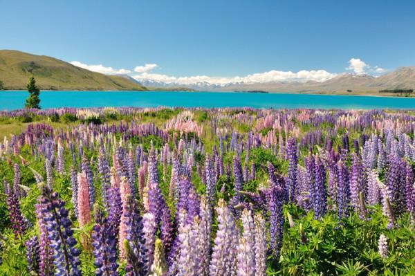 Hoa lupin ở hồ Tekapo, New Zealand1