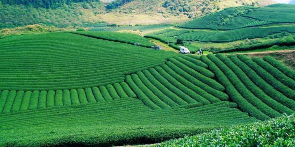 Những đồi chè đầy sắc xanh.