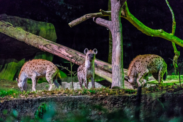 Night Safari5