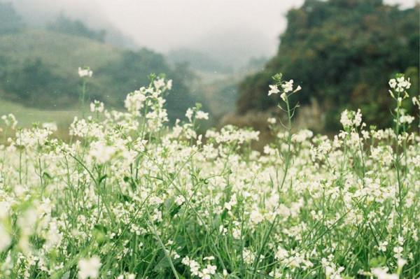 thiên đường cải trắng Mộc Châu.4