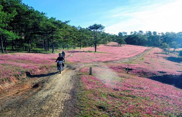 Lụi tim trước đồng cỏ hồng siêu đẹp trên phố núi Đà Lạt