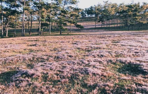 đồng cỏ hồng siêu đẹp trên phố núi Đà Lạt5