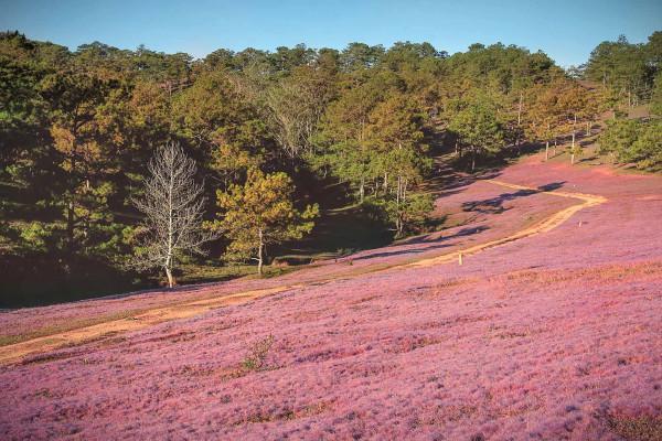 đồng cỏ hồng siêu đẹp trên phố núi Đà Lạt6