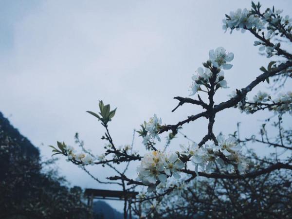 Tinh khiết một mùa hoa mận
