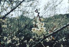 Tinh khiết một mùa hoa mận nơi trời Tây Bắc