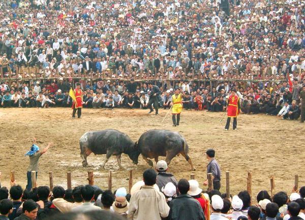 Lễ hội chọi trâu Hải Lựu3