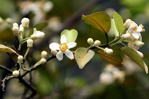 Tháng 3 mùa hoa bưởi8