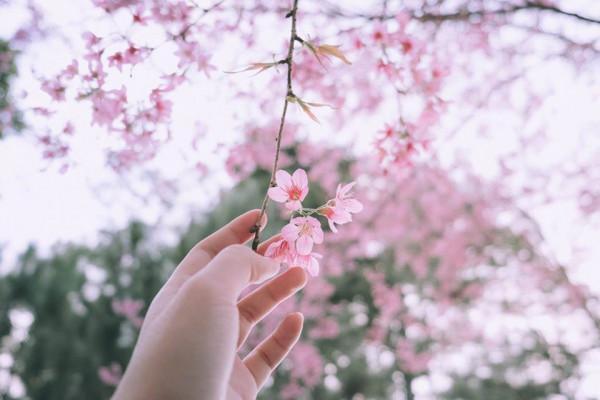 Vé máy bay giá rẻ chiêm ngưỡng mùa hoa anh đào Sakura