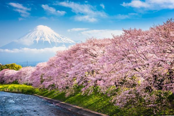 mùa hoa anh đào Sakura5