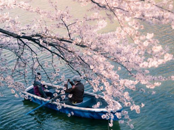 mùa hoa anh đào Sakura6