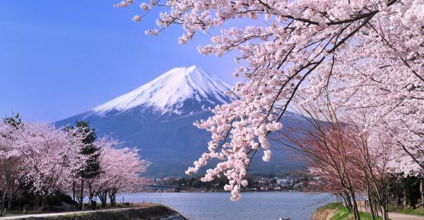 mùa hoa anh đào Sakura7