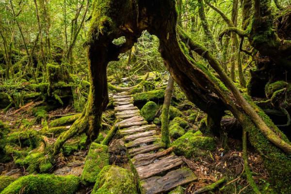 Rừng Yakushima, Nhật Bản