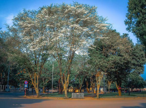 Tháng 3 hoa sưa nở trắng trời Thủ Đô